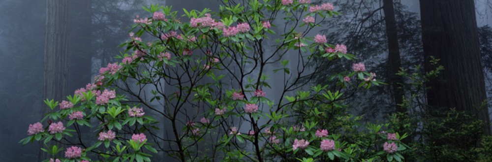 Spring Bloom - Rhododendrons and Redwoods