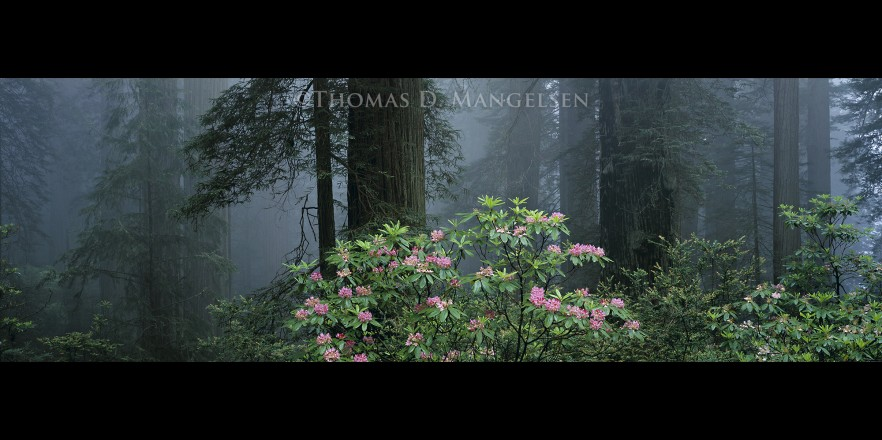 Among the Redwoods | Legacy Reserve Collection