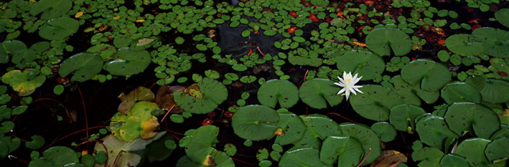 A Single Thought - Water Lily