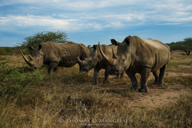 HiP: Home of the White Rhinos   Saving the Wild Collection