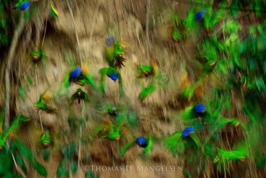 On the Wing - Blue Headed Parrots