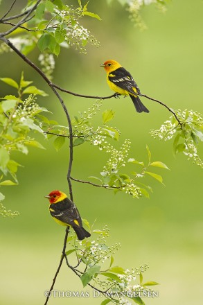 Spring Blossoms - Western Tanagers