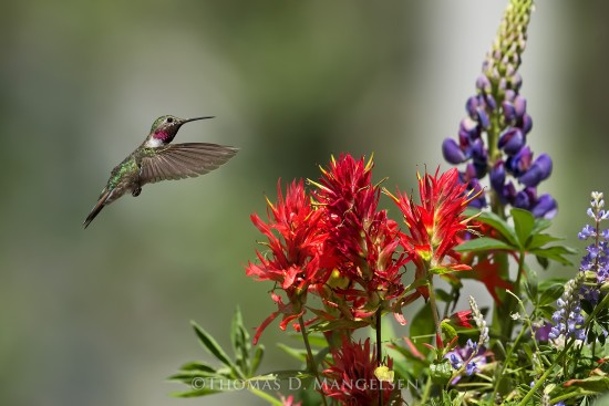 Jewel of the Tetons - Broad-Tailed Hummingbird