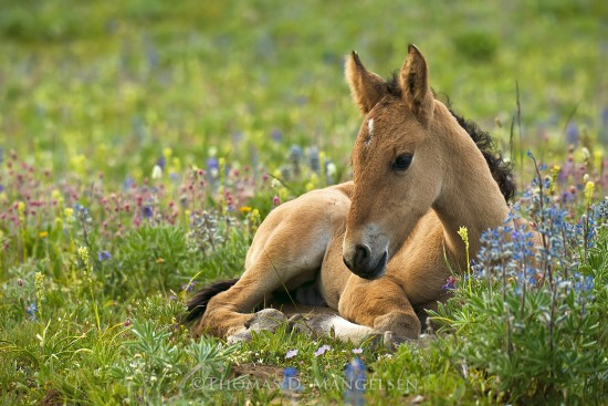 Among the Lupine - Foal