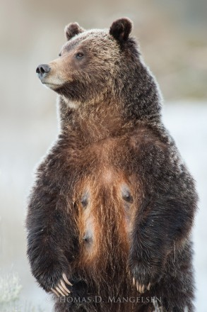 The Matriarch - Grizzly 399