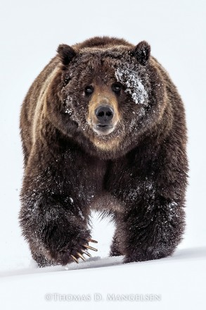 Mountain Outlaw - Grizzly Bear