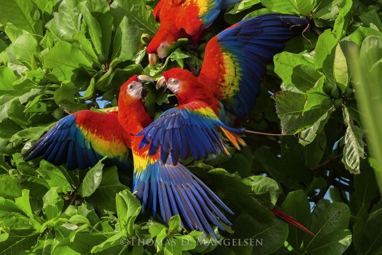 Jungle Color Wheel - Scarlet Macaws - Parrot | Macaw - Birds