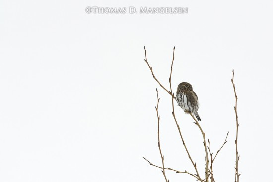 Little Hunter - Northern Pygmy Owl