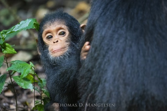 Mother's Comfort - Chimpanzee