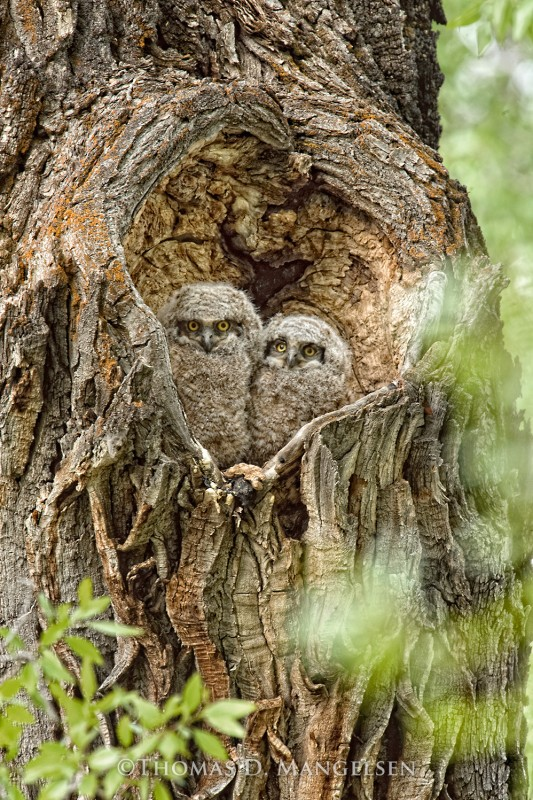 Heart Of The Cottonwood Great Horned Owlets