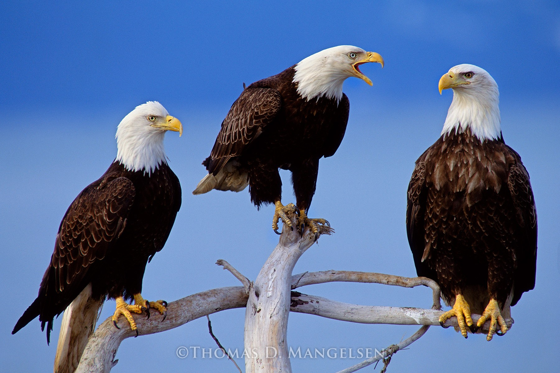 the reasons behind the edge of extinction of the bald eagle
