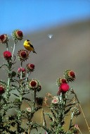 Goldfinch on Thistle | Artist Proof Collection