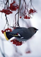 Bohemian Waxwing | Artist Proof Collection
