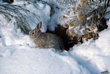 A Hiding Place - Cottontail