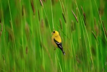 A Summer Jewel - Goldfinch
