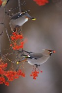 Bohemian Waxwing Pair | Artist Proof Collection