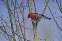 A Winter Perch - Pine Grosbeak