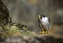 Eye of the Falcon - Peregrine
