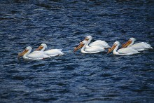 In the Current - Pelicans