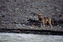 Gray Wolf by Water