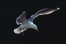 Herring Gull in Flight | Artist Proof Collection