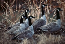 Canada Geese in Reeds