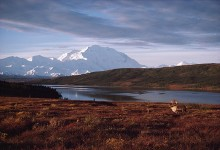Denali Morning Caribou | Artist Proof Collection