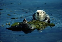 California Sea Otter in Kelp | Artist Proof Collection