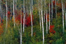 Aspens and Mountain Maples | Artist Proof Collection