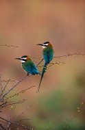 African Bee-Eaters