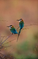 African Bee-Eaters | Artist Proof Collection
