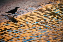 Canyon Reflections - Raven
