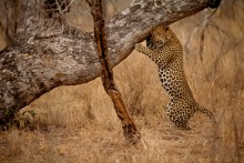 The Sign Tree - Leopard
