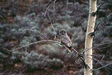 Great Gray Owl | Artist Proof Collection