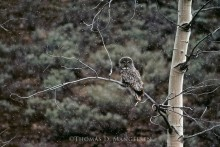 Great Gray Owl | Legacy Reserve Collection