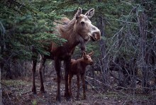 Moose Cow and Calf | Artist Proof Collection