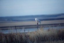 Snowy Owl | Artist Proof Collection