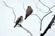 American Kestrels | Artist Proof Collection