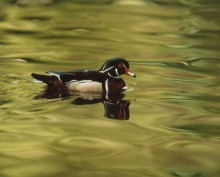 Wood Duck   Artist Proof Collection