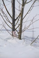 Ermine in Trees
