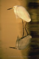 Reflections - Snowy Egret