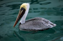 Floating the Bay - Brown Pelican