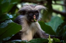 Forest Dweller - Red Colobus Monkey