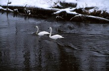 Winter on the Firehole - Trumpeter Swans