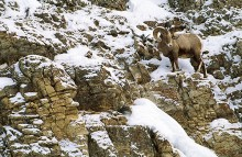 The Climb - Rocky Mountain Bighorn Sheep