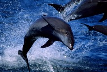 Flipping Out - Pacific Bottlenose Dolphins