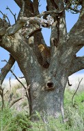 The Tree House - African Leopard