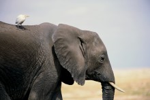 Free Ride - African Elephant and Cattle Egret