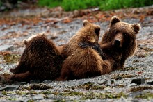 A Mother's Touch - Brown Bears
