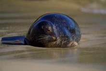 The Sun Bather - Harbor Seal
